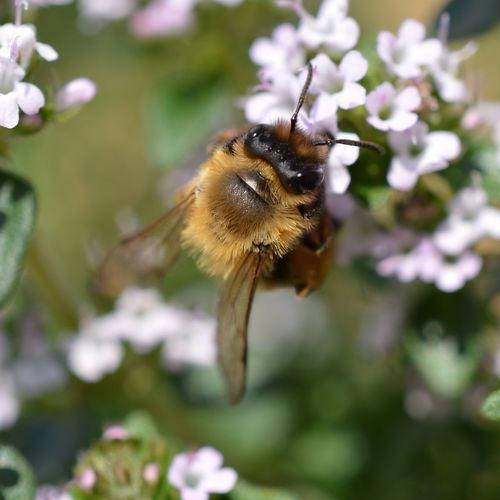 Honey Bee Bee Flower Flower Porn