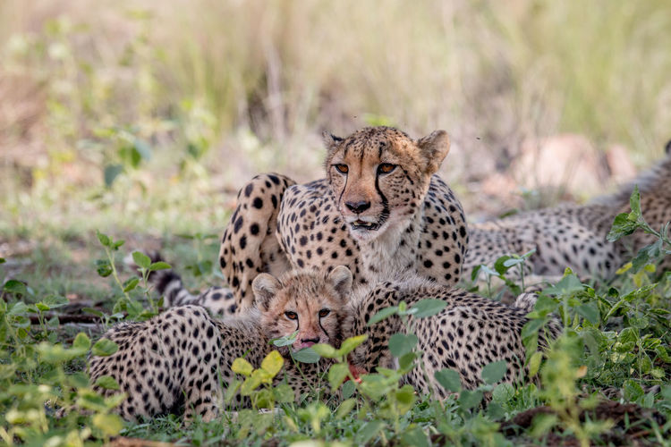 Cheetah cubs feeding on an Impala in the Welgevonden game reserve, South Africa. Nature Animal Animals In The Wild Wildlife Wildlife & Nature Nature Photography Africa African Safari Safari Animals Safari Beauty In Nature Travel Wildlife Photography Animals Animal Themes African Cheetah Acinonyx Jubatus Cat Mammal Big Cat Endangered Species Kruger Park Young Cubs