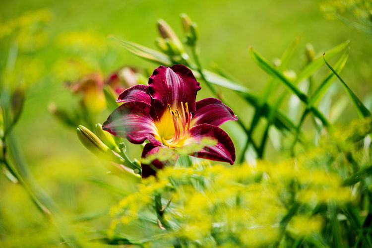 Garden Flowers Lily Beauty In Nature Blooming Close-up Day Flower Flower Head Fragility Freshness Garden Grass Growth Nature No People Outdoors Petal Plant Red Lily Summer