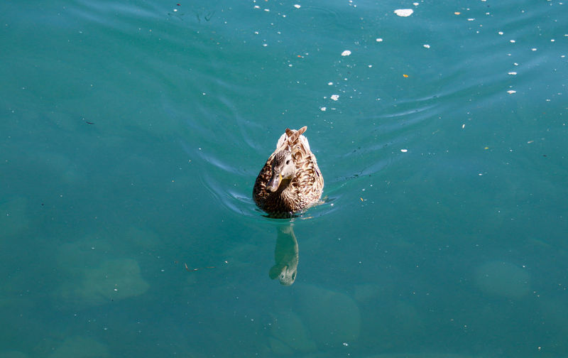 High angle view of turtle in lake