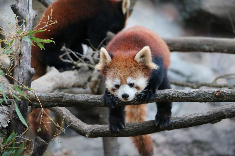 Animal Themes Close-up Focus On Foreground No People Outdoors Panda - Animal Red Panda Tree