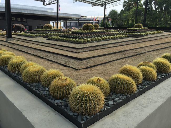 Architecture Barrel Cactus Beauty In Nature Built Structure Cactus Day Green Color Greenhouse Growth High Angle View Nature No People Outdoors Plant Plant Nursery Potted Plant Sharp Spiked Succulent Plant Thorn Yellow