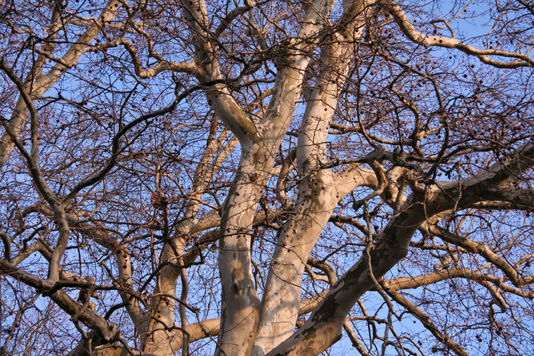 Tree Branch Plant Low Angle View Bare Tree Sky Tree Trunk No People Trunk Nature Beauty In Nature Outdoors Clear Sky Backgrounds Full Frame Sunlight Scenics - Nature Growth Dead Plant Tree Canopy  Sycamore Platan