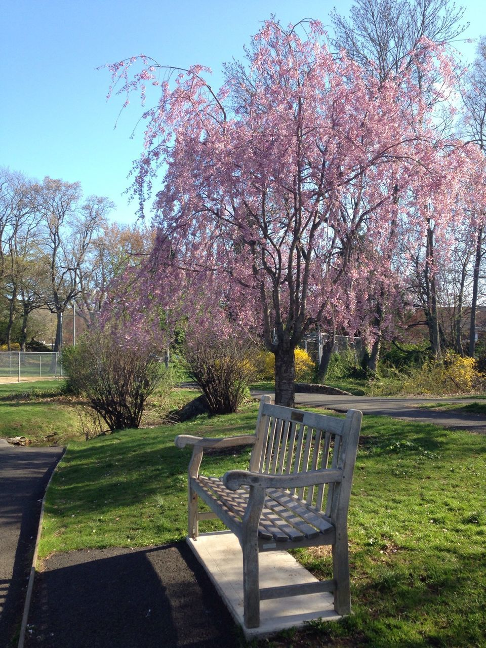 Bench In Park And Blooming Tree