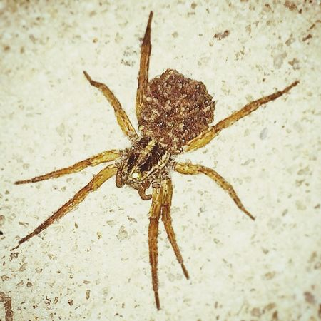Brown Recluse mom & her all her babies