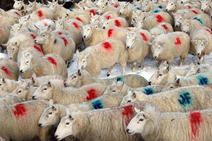 Animal Themes Farming Flock Livestock Marked Sheep Winter