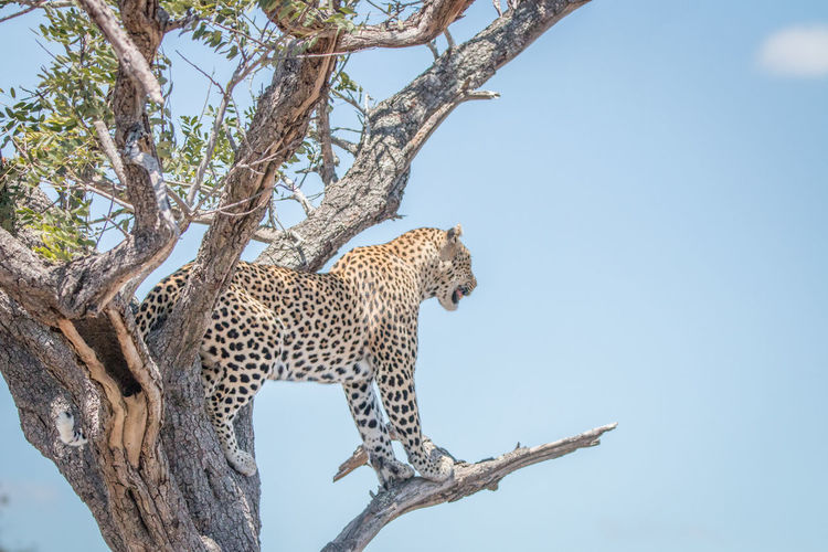Low Angle View Of Leopard Standing On Tree