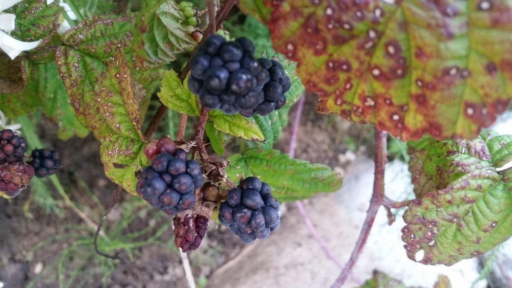 Blackberry Fruit Berry Blackberry - Fruit Growth Freshness Healthy Eating Nature Leaf Food No People Close-up Beauty In Nature Autumn Low Angle View Field Wild Berry Plant Agriculture Nature Green Color Red Color Red