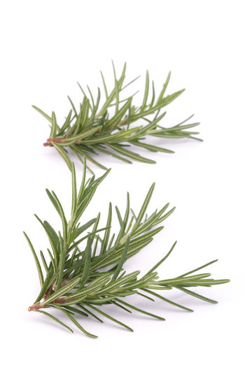 rosemary isolated on white background Raw Refreshment Ripe Plant Photography Object Organic Rosemary Scented Summer Twig White Spice Space Selective Single Nobody Nature Foods Fresh Freshness Eating Drinks Clean Closeup Garnish Green Ingredient Isolated Medicine Image Herbal Healthy Herb Branch