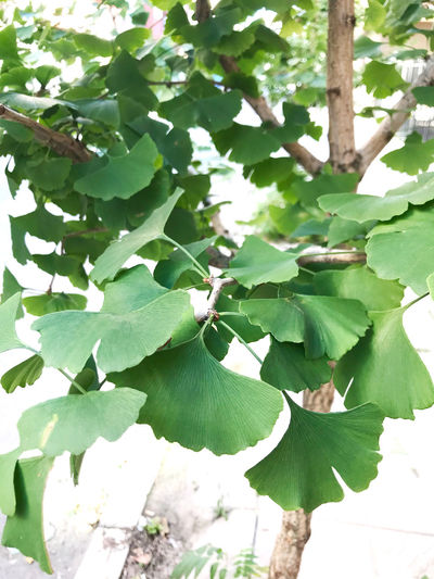 Ginkgo biloba Ginkgo Ginkgo Biloba Ginkgo Leaves Herb Tree Biloba Close-up Day Gingko Gingko Tree Ginkgo Leaf Ginkgo Tree Ginko Green Color Growth Leaf Maidenhair Tree Nature No People Outdoors Plant
