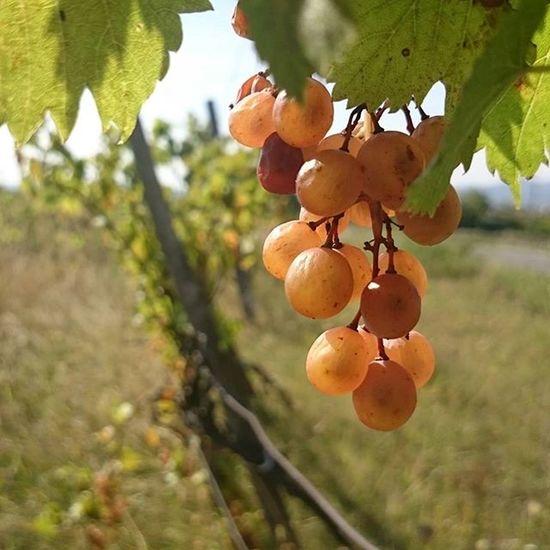 Farkasmály Ebbőlleszabor Szolo Grapes Nature Nature_collection Natural Beauty Naturelovers Nature_perfection Természet Természetfoto ősz Autumn
