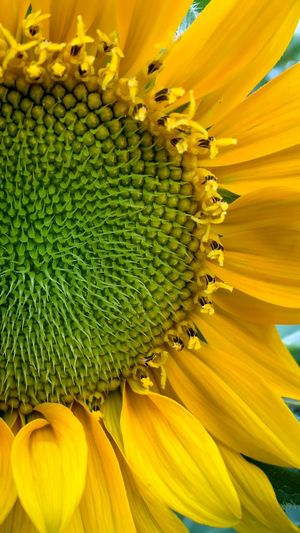 Sunflower Giant Sunflower Helianthus Annuus Helianthus Yellow Ray Flower Green Color Florets Disc Flower Pollen Flower Stamens Sunflower Head Flower Petal Beauty In Nature Nature Freshness Close-up No People Day Backgrounds Full Frame Blooming November 2017 —