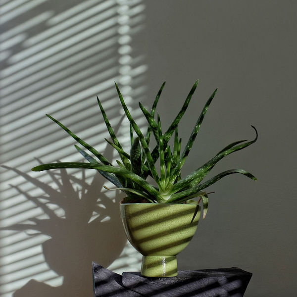 Morning Vera Green Morning Morning Light Shadow And Light Spiky The Week On EyeEm Aloe Vera Leaves Aloe Vera Plant Beauty In Nature Close-up Freshness Fujifilm X-t20 Green Color Growth Indoors  Inside Nature No People Pot Plant Potted Plant Shadow Silhoette Silouette And Shadows Striped Pattern Stripes Pattern EyeEm Ready