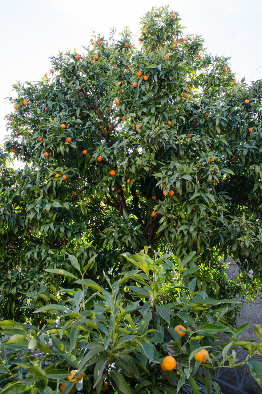 growth, fruit, nature, tree, food and drink, no people, food, green color, leaf, plant, freshness, orange tree, low angle view, day, outdoors, beauty in nature