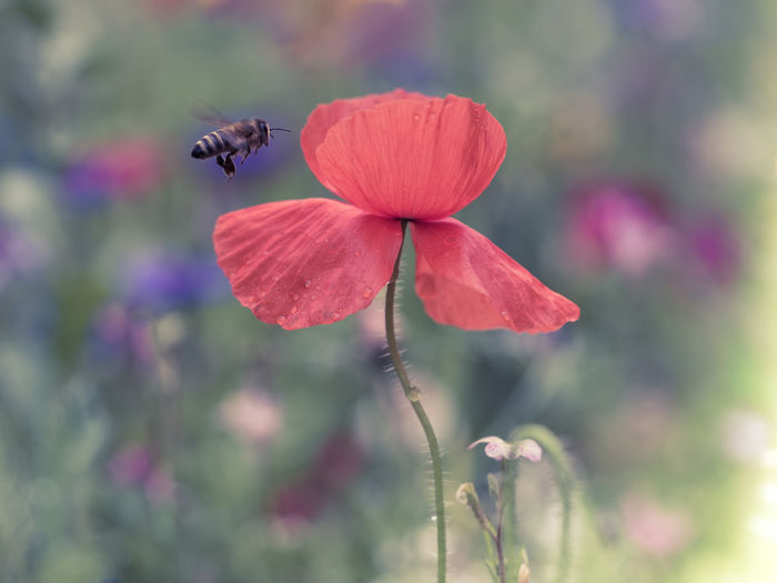 poppy with bee Animal Themes Animal Wildlife Animals In The Wild Beauty In Nature Bee Blooming Blossom Edithnerophotography Flower Flower Head Flying Bee Focus On Foreground Fragility Freshness Garden Growth Insect Nature No People One Animal Outdoors Petal Plant Poppy With Bee Wondeful Nature
