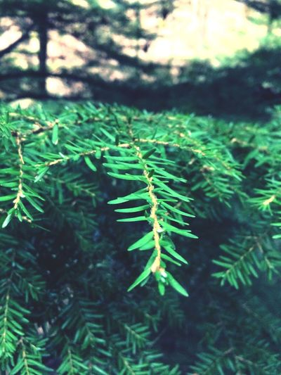 Trees Branches Sharp Green Nature Went For A Walk Pine Needles Closeup