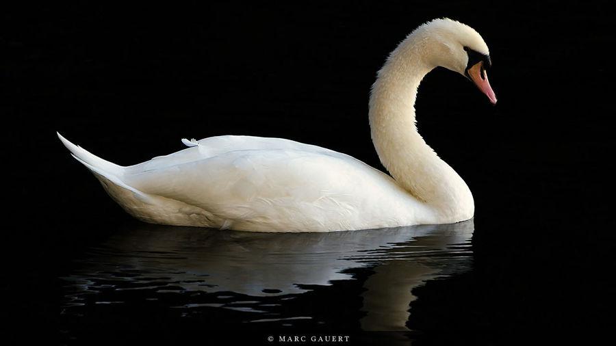 Animals Wildlife Swan Schwan