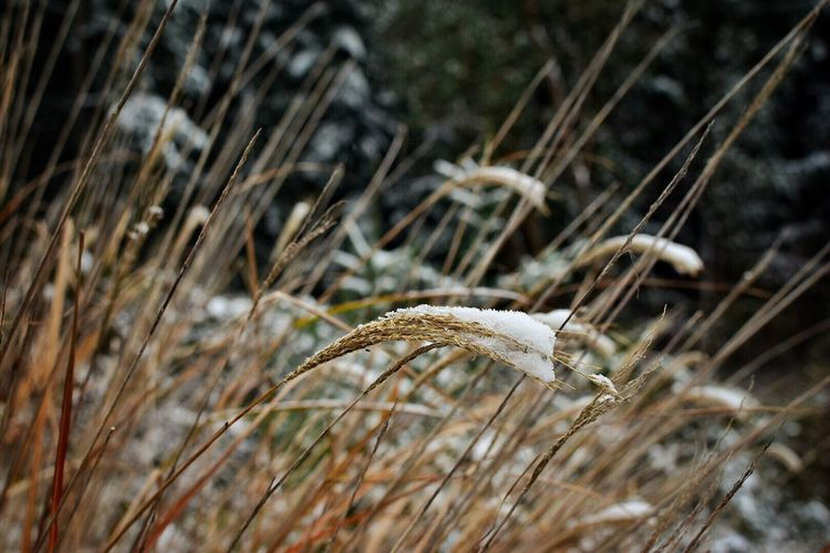 Nature Animal Themes Field No People Close-up Growth Day Grass Outdoors Animals In The Wild Grassy Wintertime Winter Snow Snow ❄ Snow Covered Timothy Grass Ear Of Wheat Brown Growth Wheat Nature Plant