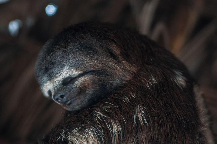 Sloth Non-urban Scene No People Animal Animal Wildlife Animals In The Wild Animal Themes One Animal Day Mammal Close-up Focus On Foreground Animal Body Part Nature Brown Animal Head  Sleeping South America Latin America Sleepy Lazy Vertebrate Animal Hair Looking Away Outdoors