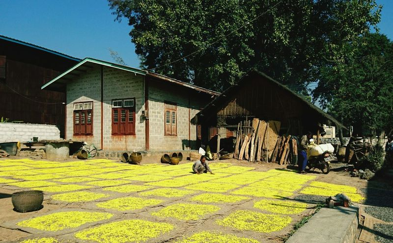 Drying yellow beans. Today is all about discovering Inle lake and the surrounding villages. Silvia In Myanmar Villages Discovering Places Myanmar Life In A Village 43 Golden Moments On The Way Beautifully Organized