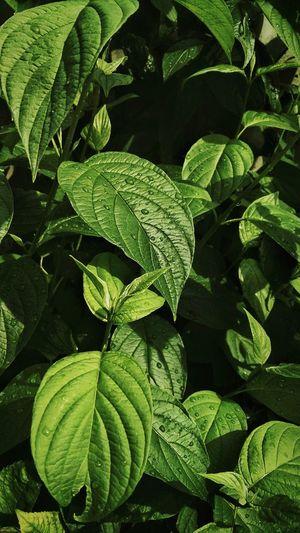 Blätterwerk Green Color Plant Growth Freshness Leaf Agriculture Riesen Blätter Blätter Golden Shimmer Seitenblicke