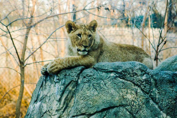Animals In The Wild Animal Wildlife One Animal Tree Animal Themes Day Lion - Feline