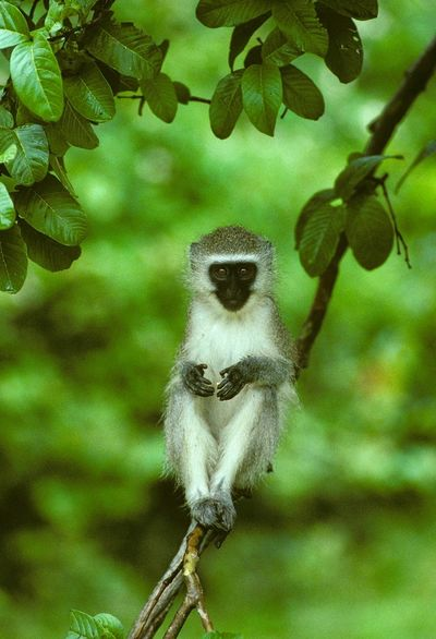 Green Monkey Zimbabwe Animal Animal Family Animal Themes Animal Wildlife Animals In The Wild Branch Day Focus On Foreground Leaf Mammal Monkey Nature No People One Animal Outdoors Plant Plant Part Primate Tree Vertebrate Vervet Young Animal