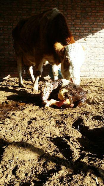 Newborn Calf Mother Love 🐮 Beautiful Nature