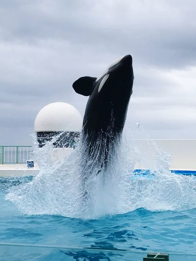 Jamp! 鴨川シーワールド 鯱 Killer Whale Orcinus Orca Orca Water Animal Themes