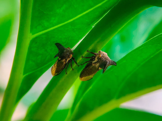 Treehoppers Nature_collection Naturelovers Nature Photography Fauna_collection Insects  Nature_lovers Nature_landscape Green Savetheplanet Insect Photography Together Treehopper Treehoppers Leaf Insect Full Length Animal Themes Close-up Green Color