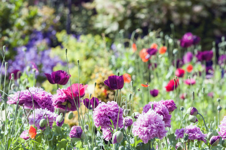 The beauty of Nature. Flowering Plant Flower Plant Freshness Fragility Beauty In Nature Vulnerability  Growth Petal Flower Head Nature Purple Inflorescence Close-up No People Day Focus On Foreground Pink Color Garden Park - Man Made Space Outdoors Springtime Ornamental Garden Flowerbed Nature