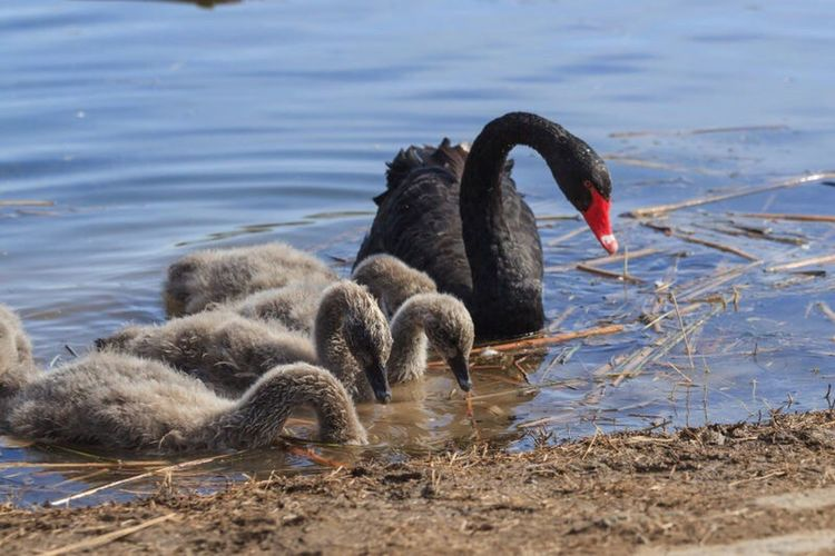 The Black Lens Bird Swan Water Animal Themes Lake Black Swan Nature Animals In The Wild Day Outdoors No People EyeEm Hi Rear View Happiness Hi World Summer Gosling