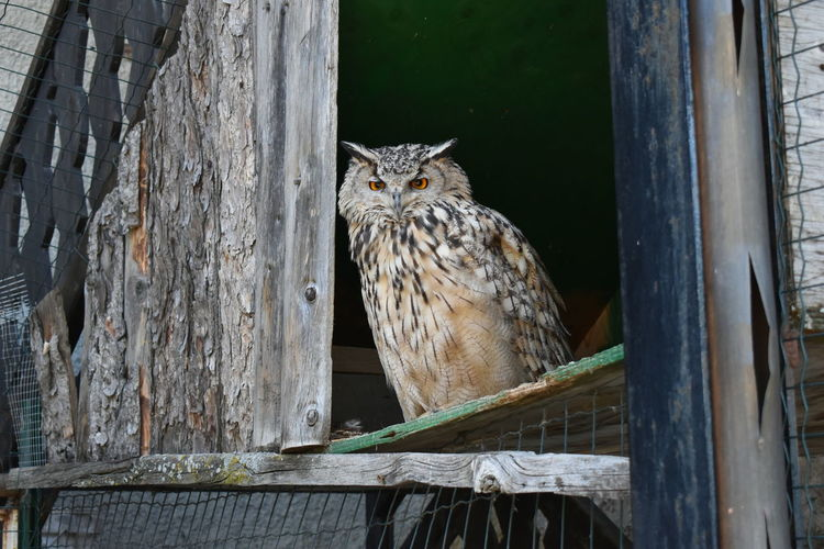 Portrait of owl perching on wood