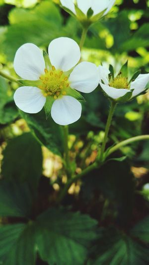 Green Color Green Flower Fleur Fraise Strawberry White First Eyeem Photo