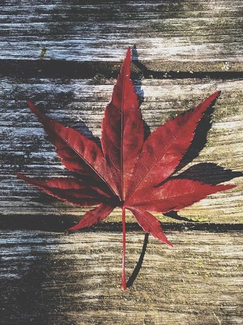 Leaf Plant Part Nature Red Sunlight Day Autumn Close-up Outdoors High Angle View Maple Leaf Shadow