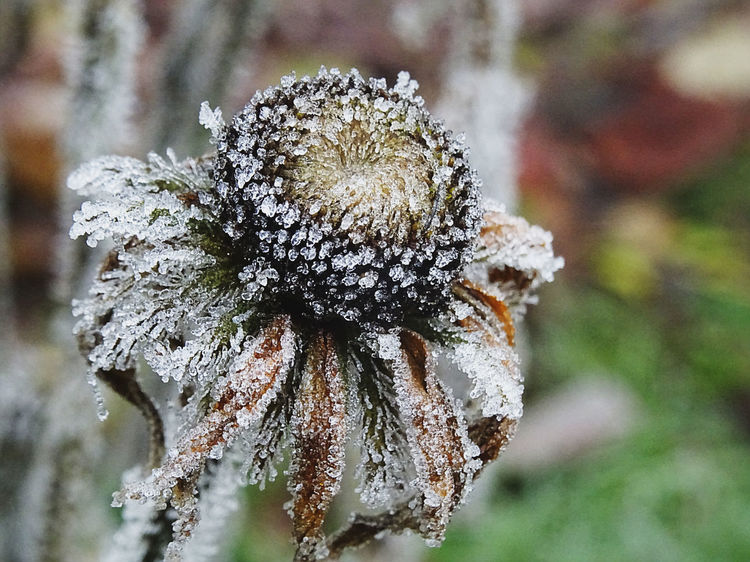 EyeEm Selects Nature Close-up Flower Head Beauty In Nature No People Flower Frost Frosty Flower Nofilter