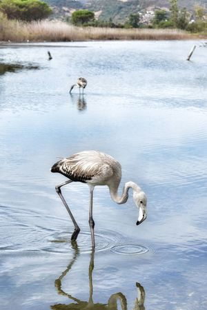 Fenicottero Animals In The Wild Animal Wildlife Water Lake Reflection Animal Bird One Animal Nature Outdoors No People