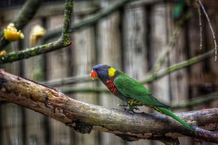 Rainbow lorikeet on branch of tree