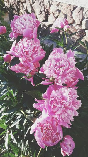 Flowers Pion 🌹🌸