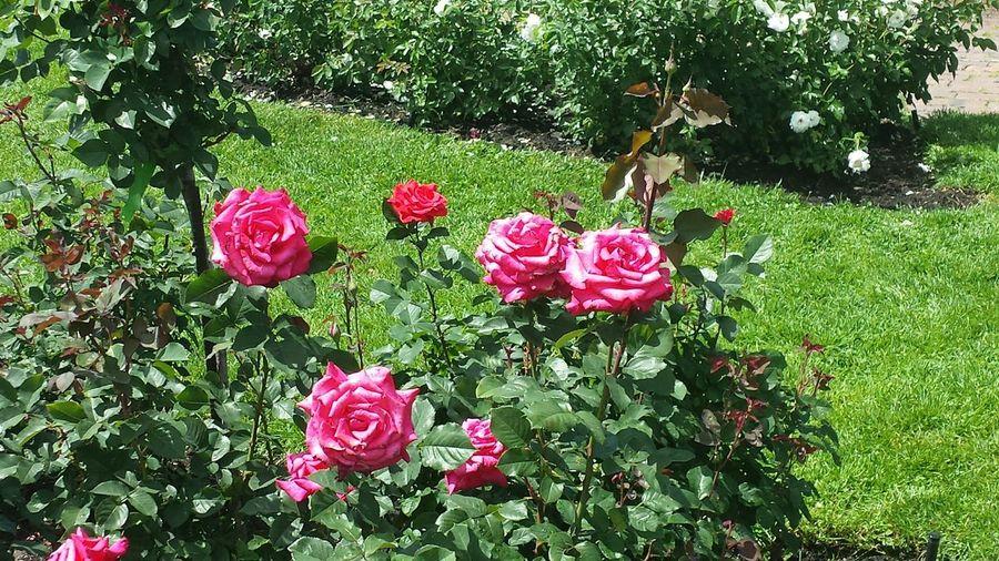 At rose garden