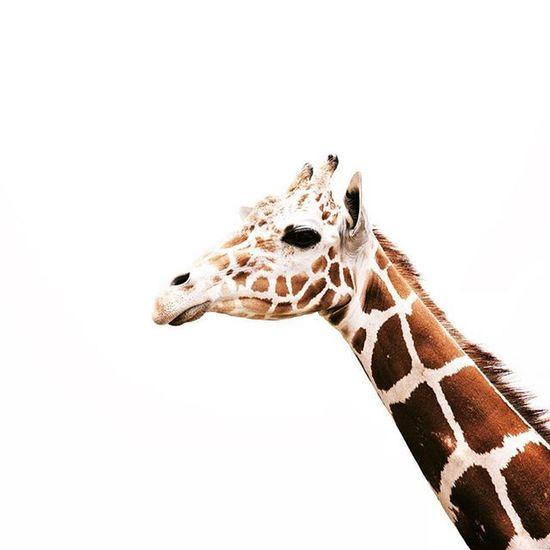 - ¿Alvarini cuál es tu animal favorito? - La jirafa. - ¿Por qué? - No sé, tienen manchas y están altas, me encantan. Si te gustan los animales como a mí seguramente eres de las personas que soñaban con ser veterinarios... Obviamente nadie cumplió ese sueño. Pregunta obligada, ¿Te gustan los animales? ¿Cuál es tu animal favorito y por qué? Platícame... | Whptexture PreguntasDeAlvarini Jirafini Sunday8PMCrew