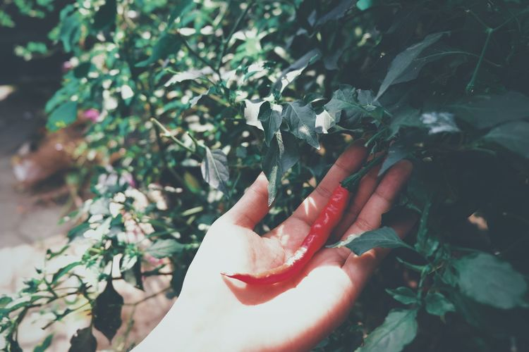 Close-up of hand holding red chili pepper by plants