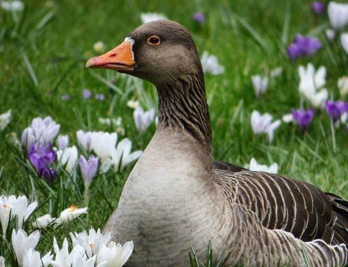 This Greylag Goose is definitely ready for Spring amongst the Crocuses Nature Photography Uknaturecollective Ig_birdlovers Nofilter Lumix Followme Ig_birdwatchers Nuts_about_birds Wildlife Nature England @rsa_nature @uk_wildlife_images @bbcspringwatch