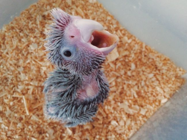 Cockatoo Galah Captivity Hope Miracle Baby Feathers Birds Bird proyecto de incubación artificial para criar especies en peligro de extinción @aviariocosta Mexico