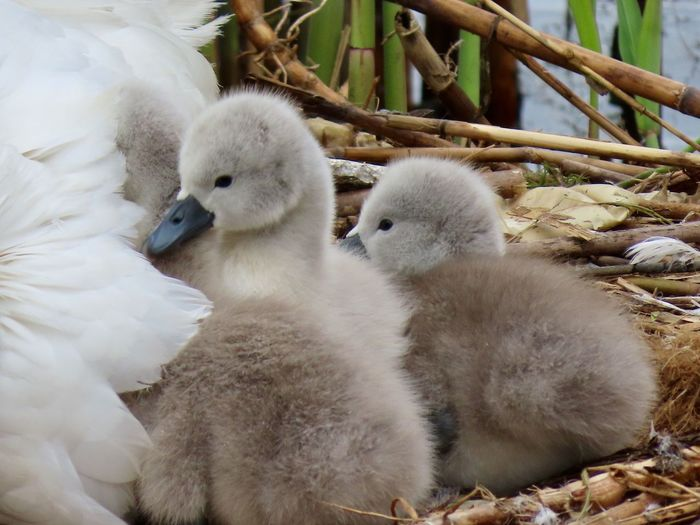 Baby swans just born cygnets sticks and twigs nest birds of EyeEm animal themes beauty in nature outdoors Group Of Animals Young Bird Close-up Beginnings