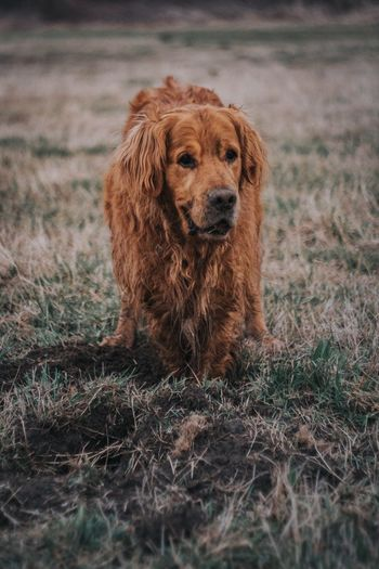 Mammal Animal Themes Domestic Animals Dog One Animal Pets Field No People Outdoors Grass Brown Nature Day Close-up Golden Retriever EyeEm Best Shots Fujifilm_xseries