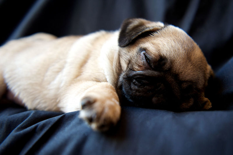High Angle View Of Pug Puppy Relaxing On Bed At Home