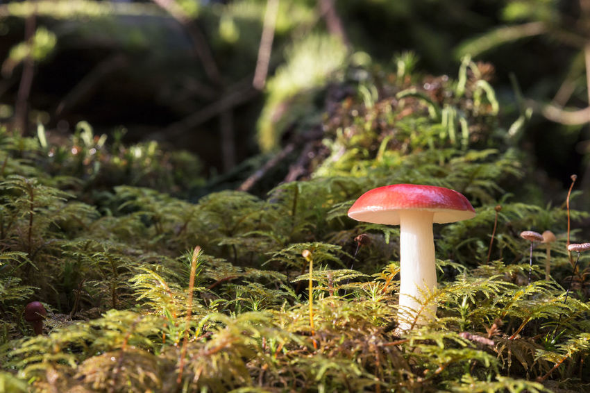 EyeEm Nature Lover Hello World Tranquility Beauty In Nature Close Up Close-up Day First Eyeem Photo Fly Agaric Fly Agaric Mushroom Forest Fragility Freshness Fungus Ground Level View Growing Growth In The Forest Light And Shadow Moss Mushroom Nature No People Outdoors Toadstool Lost In The Landscape Perspectives On Nature