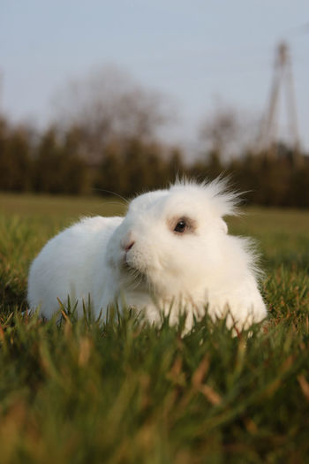 Close-up of white rabbit on grass