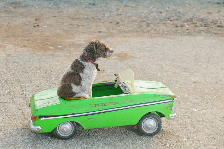 funny dog sitting in a car Dog Cute Funny Car Driving Small Retro Green Cabriolet Convertible Pet Background Lagotto Romagnolo Unreal Street Toy Drive Traffic Trip Vintage Summer Fun Pedigree Domestic Racing Joyride Sweet Sitting Animal Driver Holiday Travel Ride Adventure Move Freedom Road Happy Lifestyle Looking Enjoy Outside Vehicle Fur Closeup Transport Canine Breed Side View